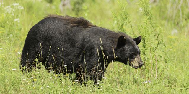 Im Pacific Rim Nationalpark kann man Braunbären in ihrer natürlichen Umgebung sehen.