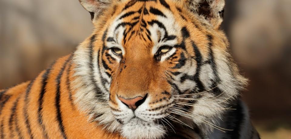 Huanan-Tiger: Auswilderungsprojekt in Afrika ist letzte Hoffnung
